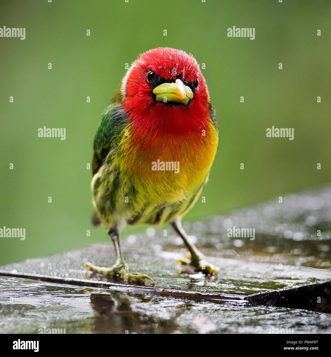 Un maschio con testa rossa barbet fotografato in China, Costa Rica Immagini Stock