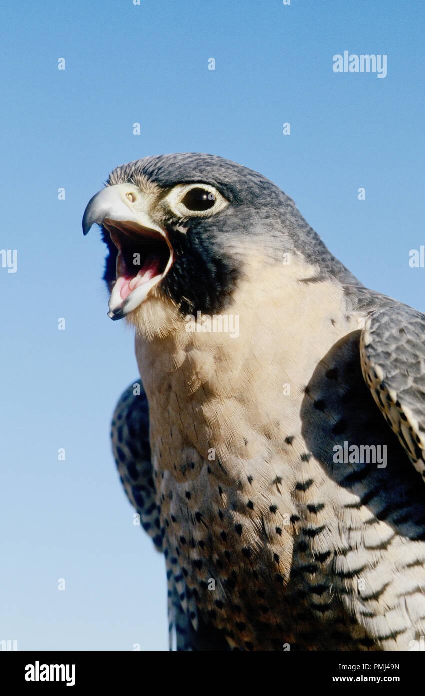 Falco Pellegrino (captive; Falco peregrinus) presso il centro mondiale per gli uccelli da preda, Boise, in Idaho, Stati Uniti d'America Foto Stock