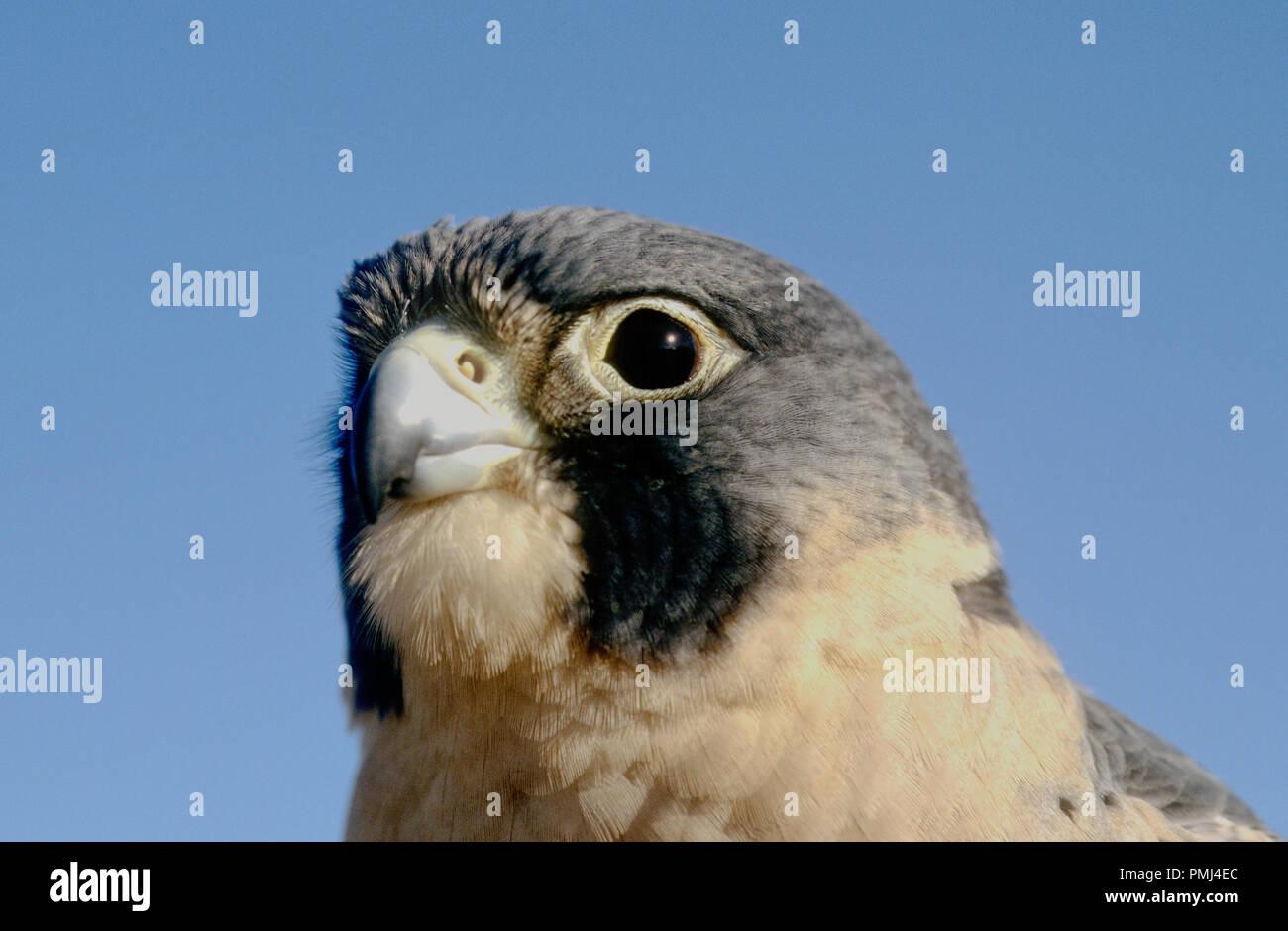 Falco Pellegrino (captive; Falco peregrinus) presso il centro mondiale per gli uccelli da preda, Boise, in Idaho, Stati Uniti d'America Immagini Stock
