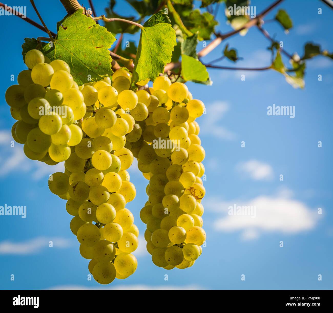Chardonnay Grape Immagini & Chardonnay Grape Fotos Stock - Alamy
