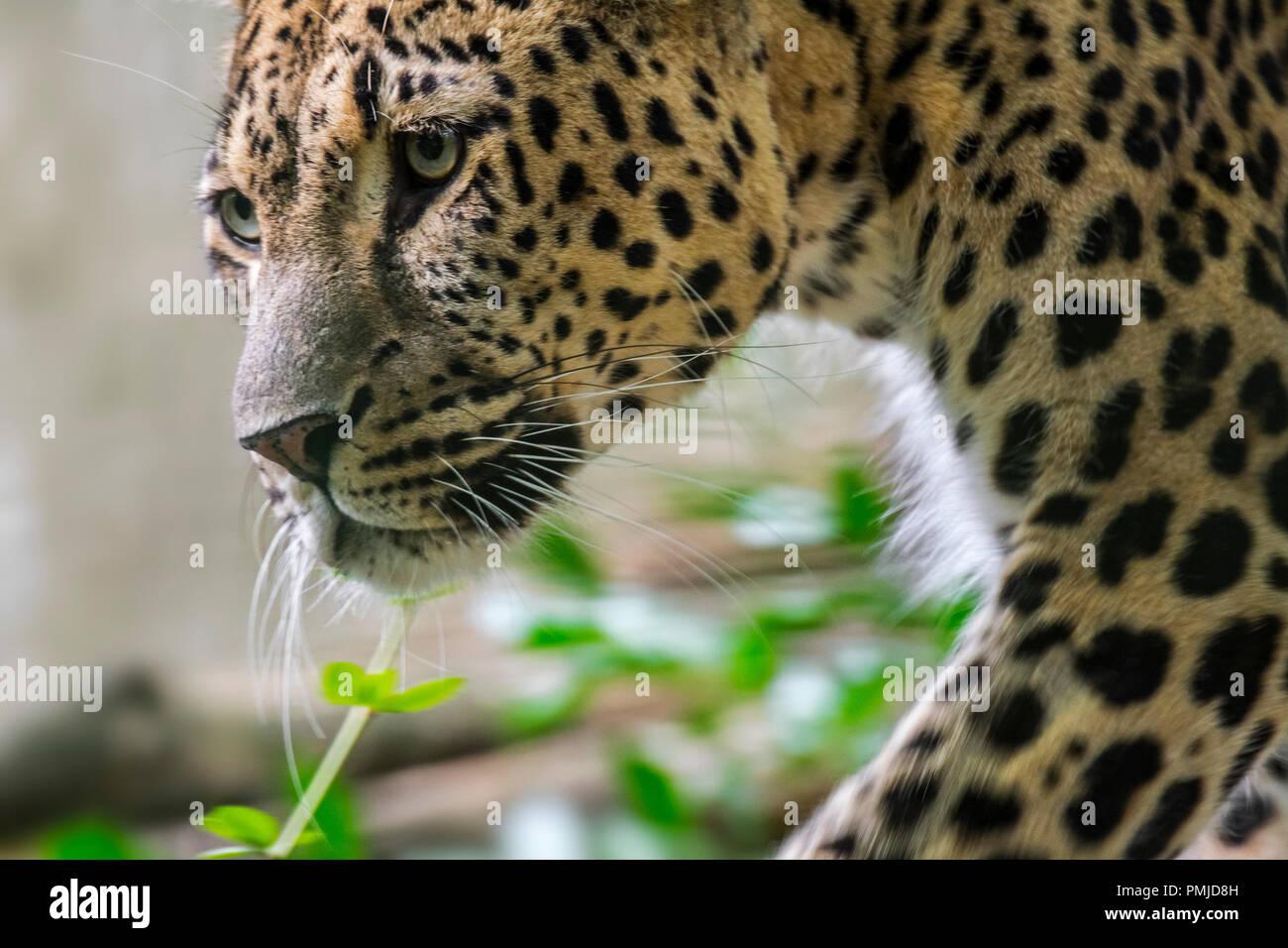 buio Panthera nero sesso