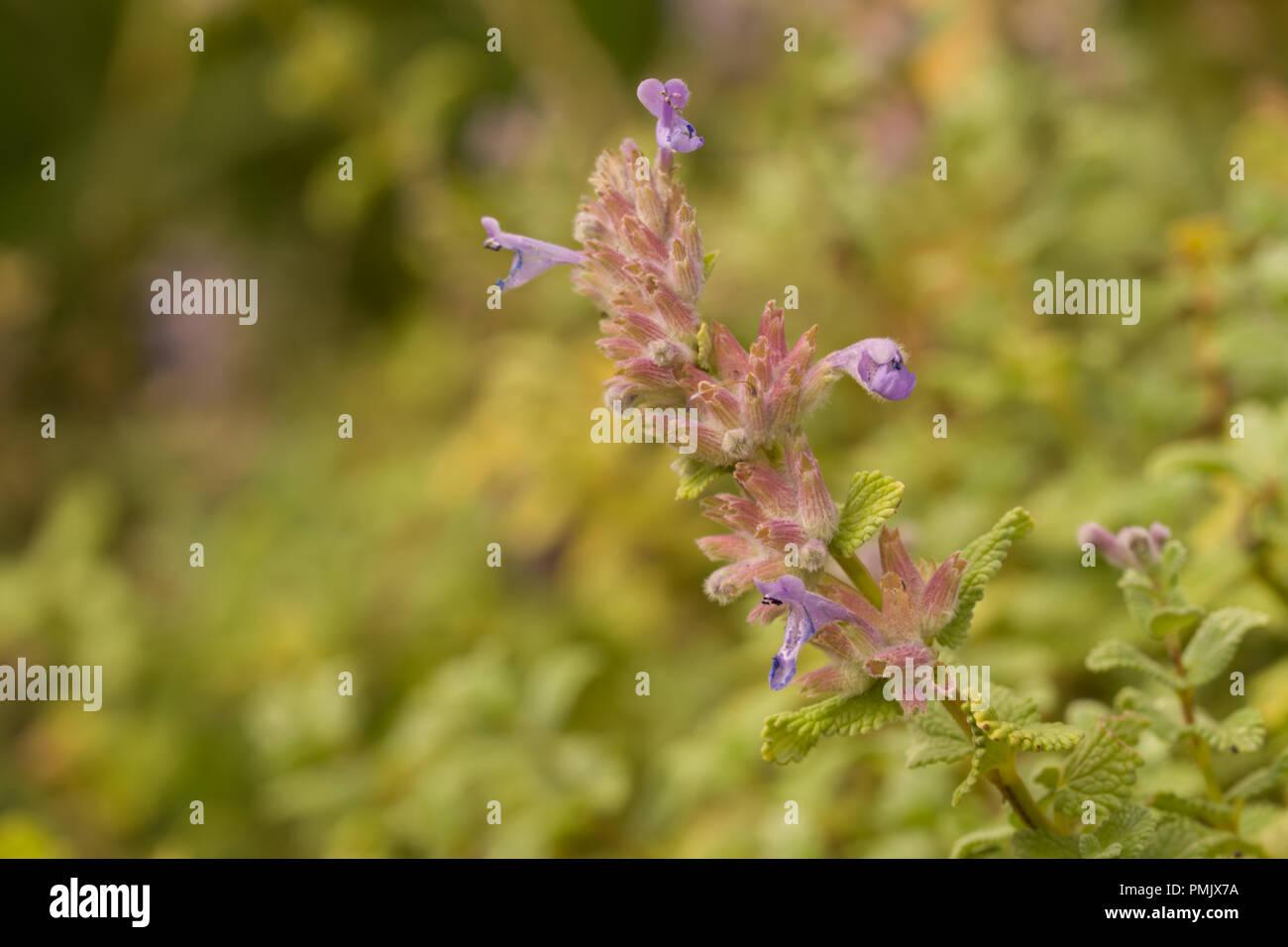 Nepeta cataria var citriodora comunemente noto come erba gatta, catswort e nepitella, è una specie del genere Nepeta nella famiglia Lippenblütler Immagini Stock