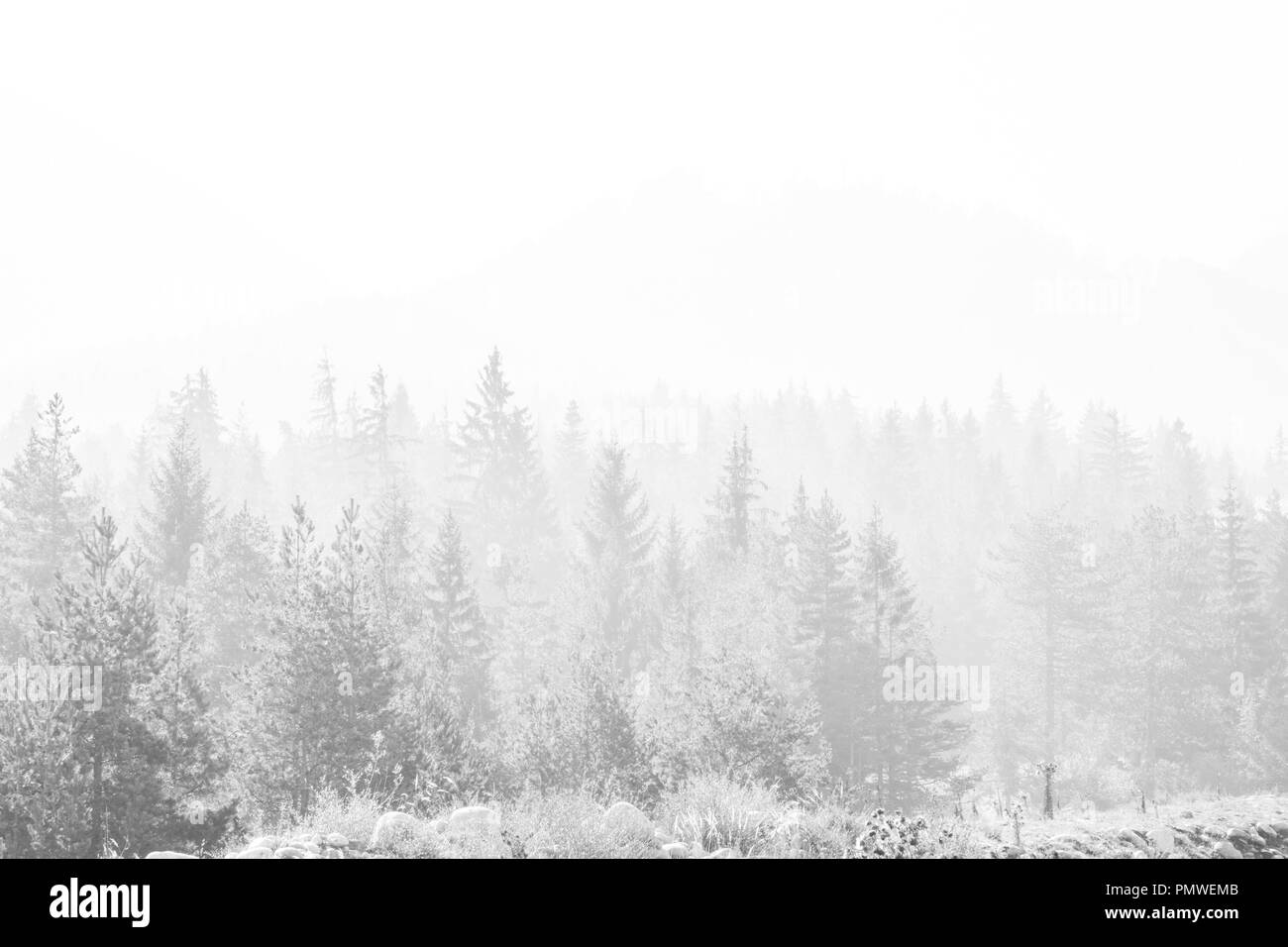 Foresta Di Conifere Isolati Su Sfondo Bianco Nero Silhouette