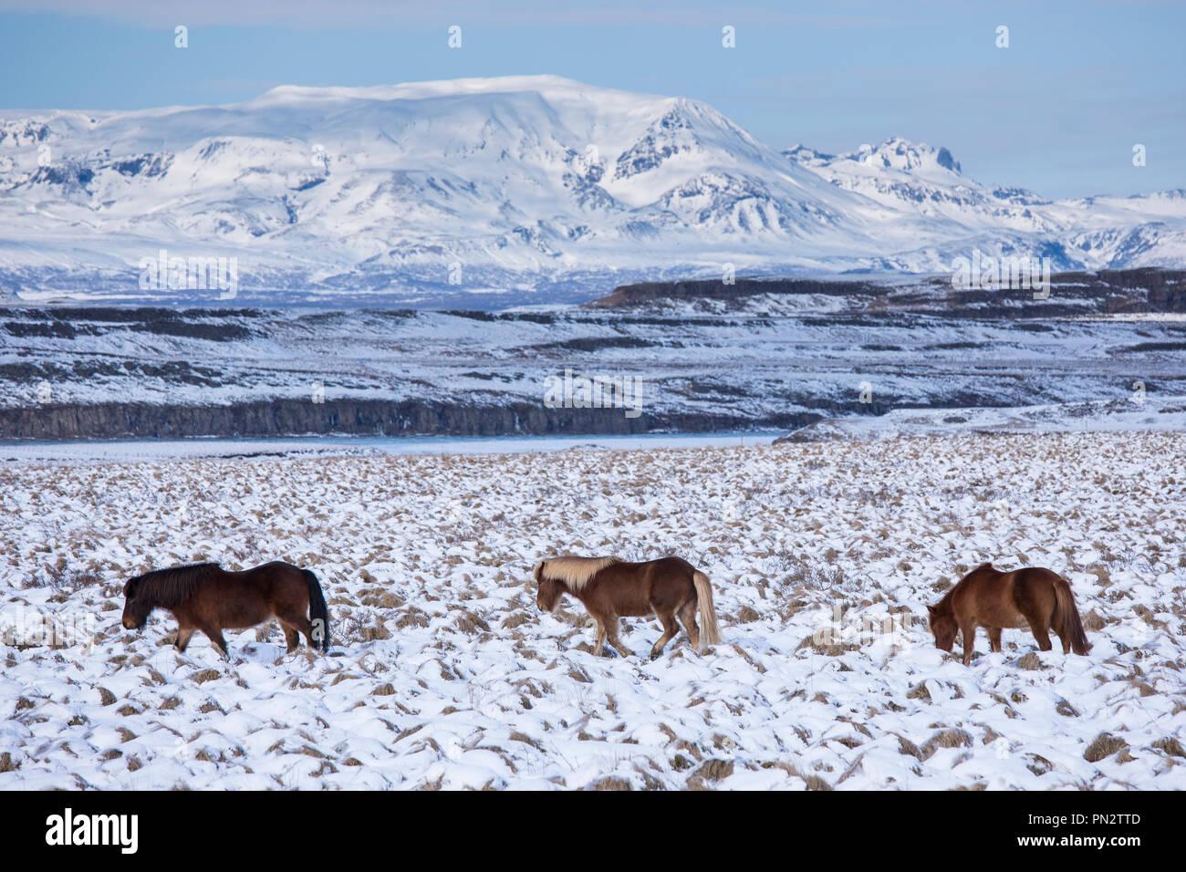 Mandria di Cavallini islandesi nel paesaggio glaciale del sud dell'Islanda a camminare in una linea fino a seguito del leader Immagini Stock