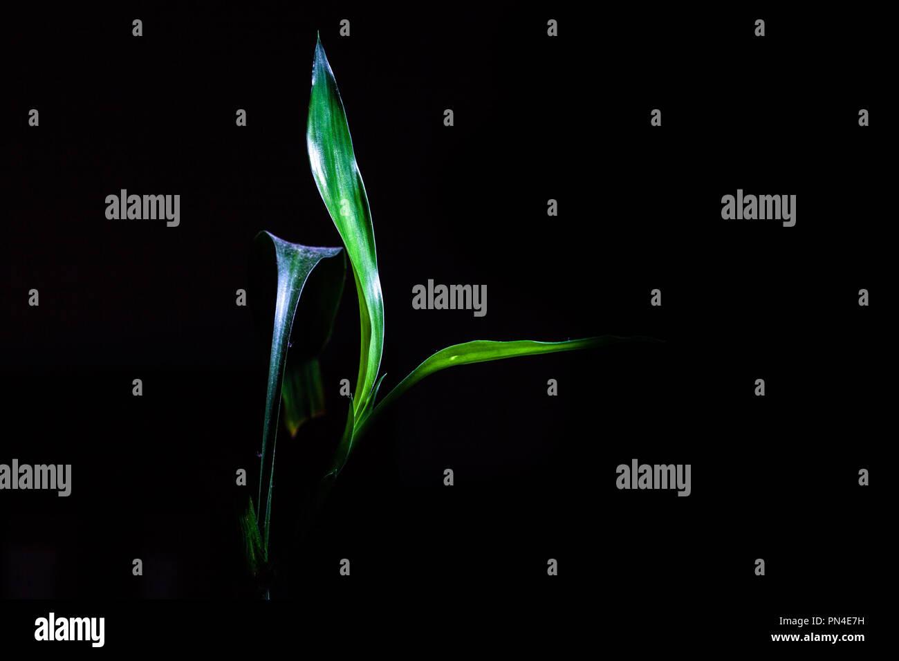 Incandescente di germogli di bambù isolati su sfondo nero con spazio di copia Immagini Stock