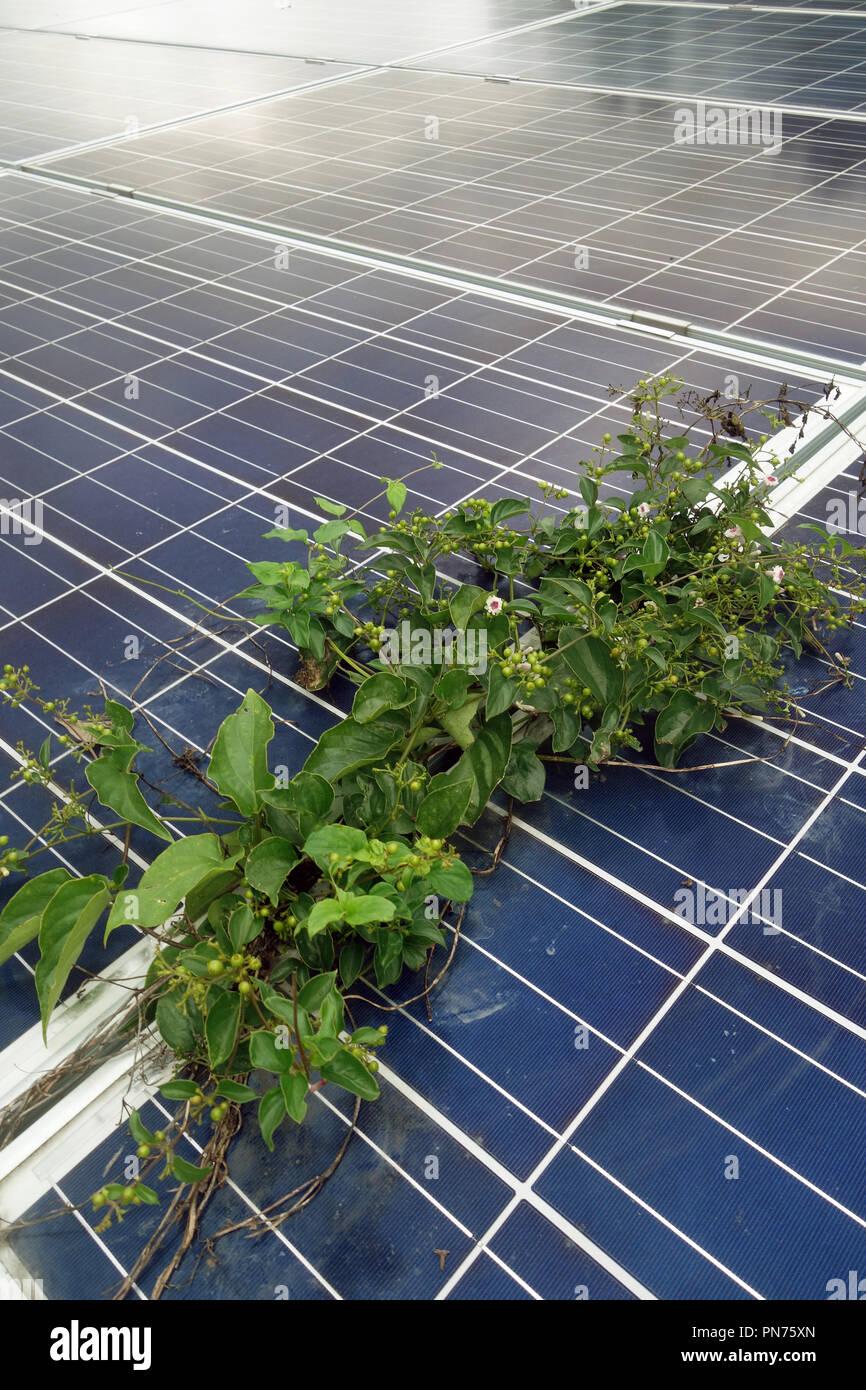 Le piante in concorrenza con i pannelli solari per la luce del sole, vicino Benssho Onsen, Honshu, Giappone. N. PR Immagini Stock