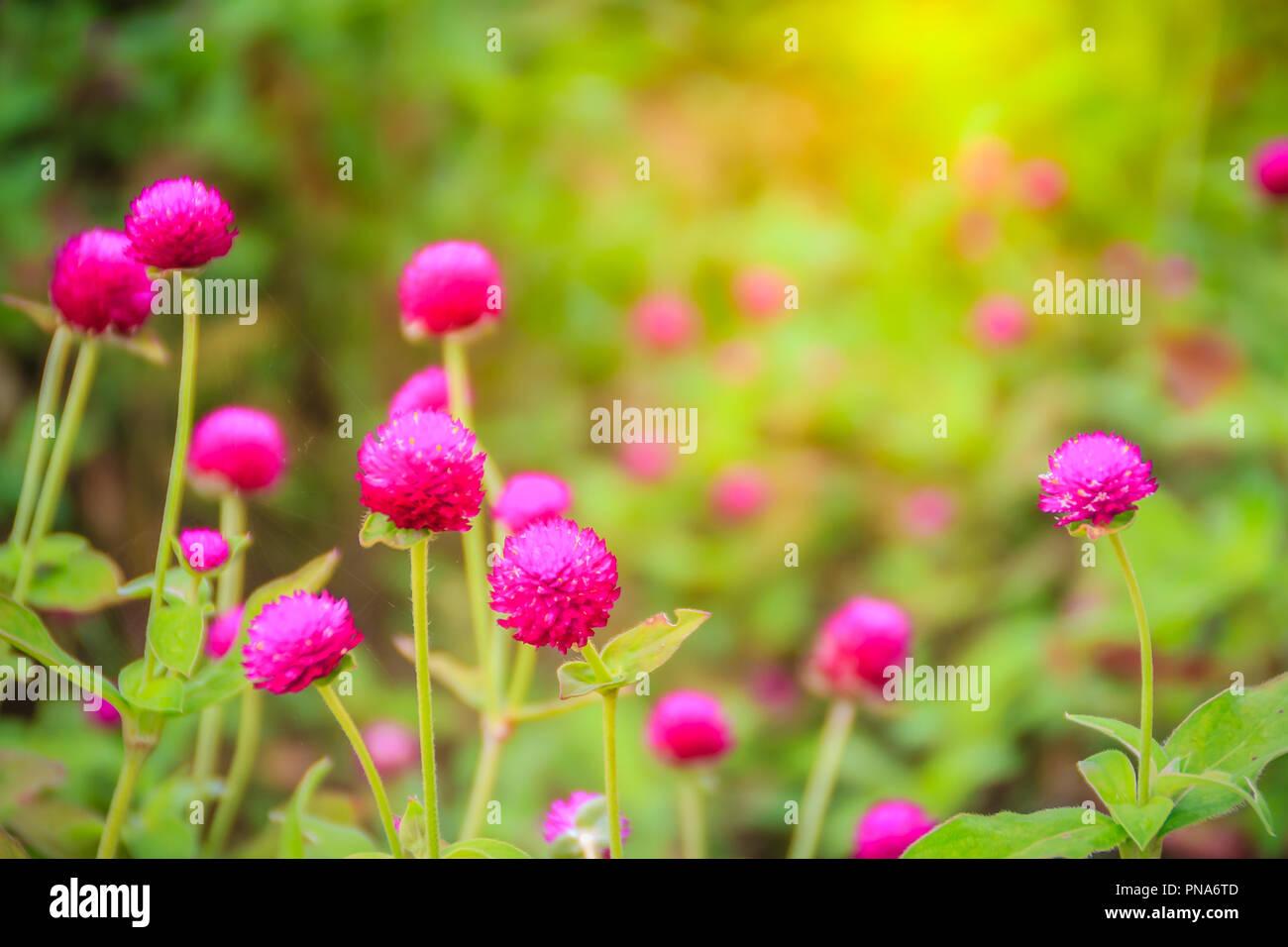 Colorato Gomphrena globosa fiore su albero, noto anche come amaranto globo o pulsante di bachelor. Il vero specie ha magenta brattee e hanno colori tali Immagini Stock