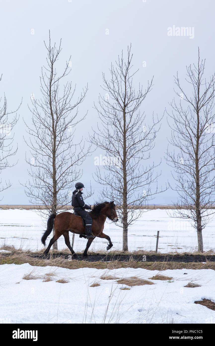 Donna di equitazione pony islandese facendo il tradizionale tolt gait - tolting - in Hella nel sud dell'Islanda Immagini Stock