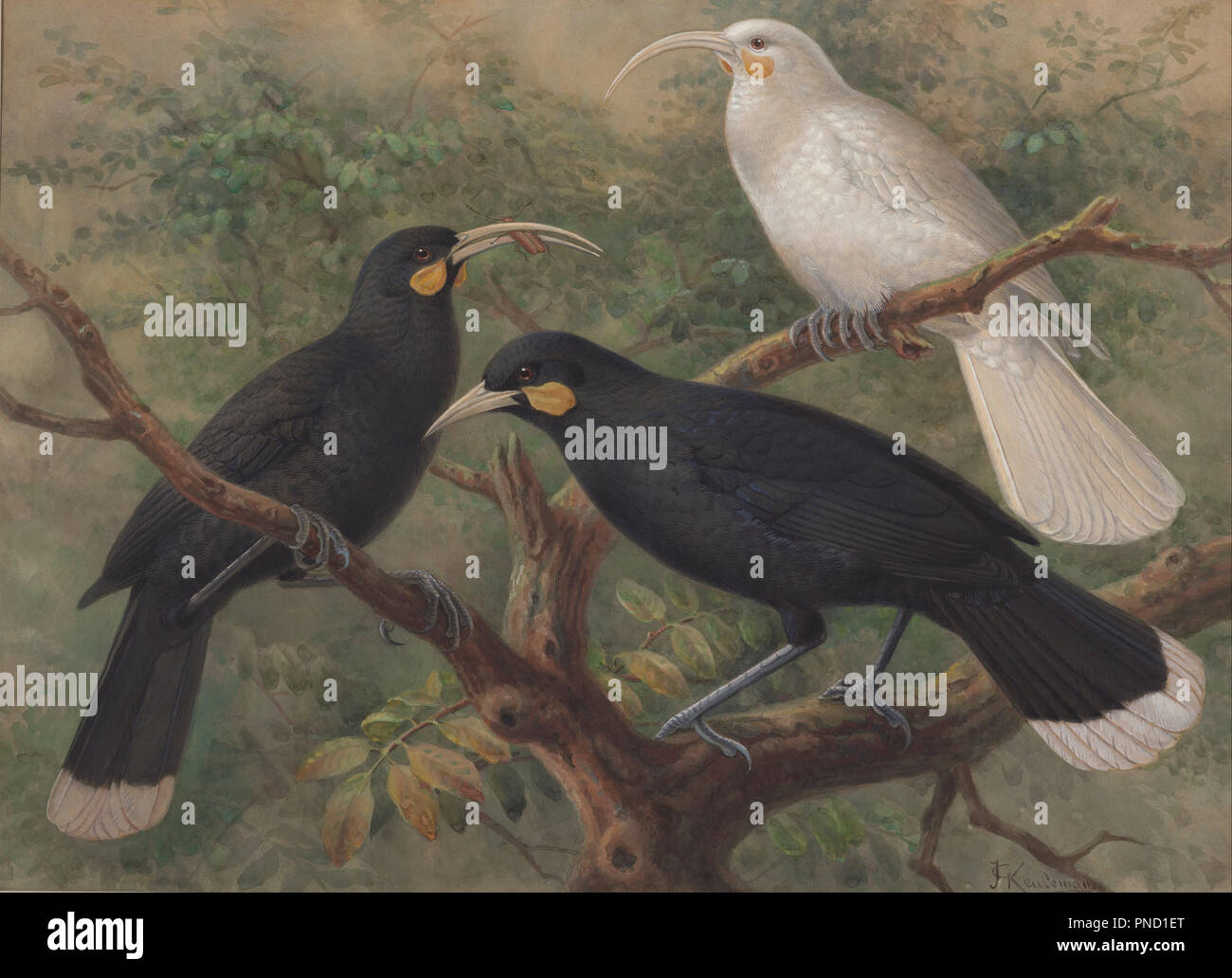 Tre Huia (Heteralocha acutirostris). Data/Periodo: ca. 1900. Acquerelli. Acquarello e tempera. Altezza: 529 mm (20.82 in); larghezza: 724 mm (28.50 in). Autore: John Gerrard Keulemans. Foto Stock