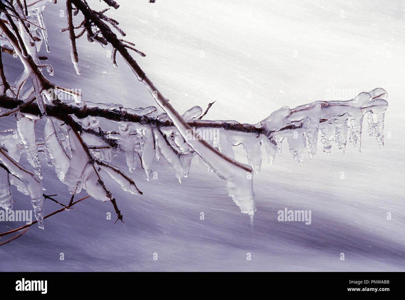 Stati Uniti d'America. Il Wyoming. Parco Nazionale di Yellowstone in inverno. Coperte di ghiaccio ramo dell'albero. Immagini Stock