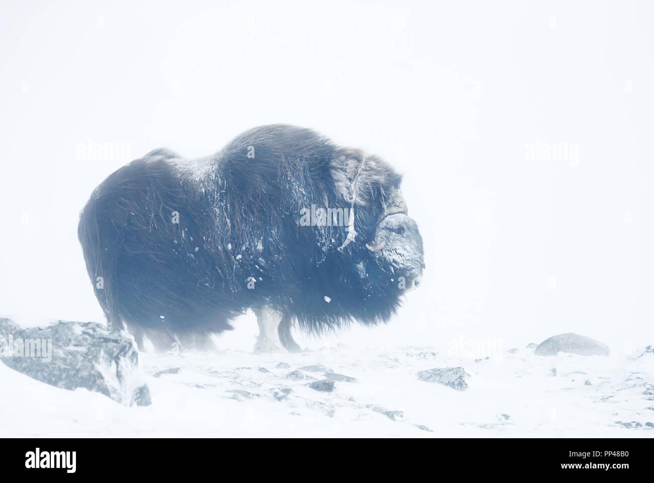 Close up di un muschio di bue in piedi nella neve in una fredda giornata invernale. Foto Stock