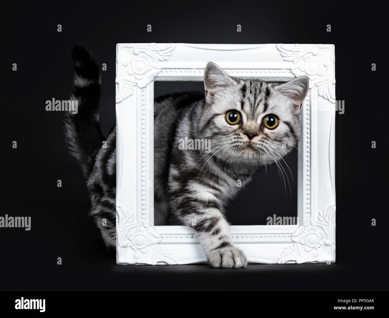 Titel: sorprendente carino nero silver tabby British Shorthair gattino lato permanente modi attraverso un bianco pictureframe, guardando dritto in una lente, isolat Immagini Stock