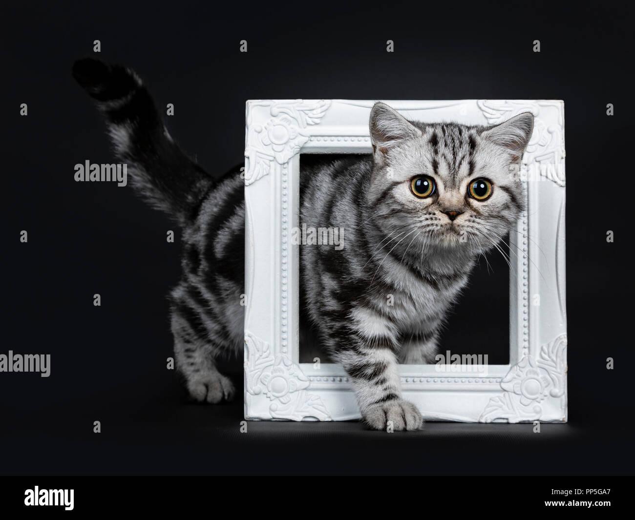 Titel: sorprendente carino nero silver tabby British Shorthair gattino lato permanente modi attraverso un bianco pictureframe, guardando accanto a una lente, isolata su Immagini Stock