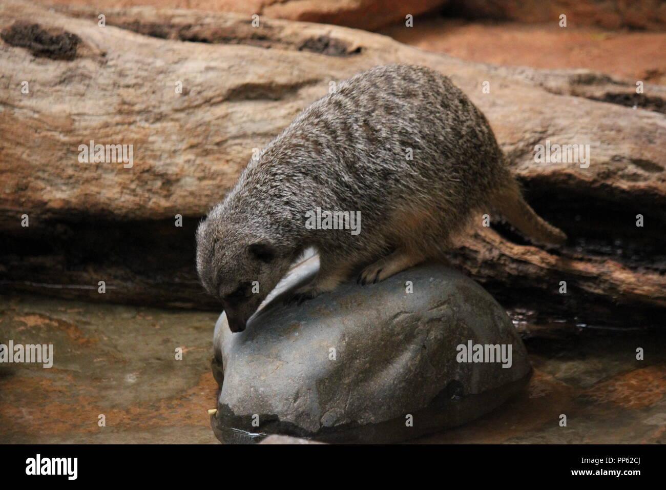 Lincoln Park Zoo Meerkat, Suricata suricatta, S. suricatta , giocando intorno all'acqua e seduto su una roccia a Chicago, Illinois. Immagini Stock