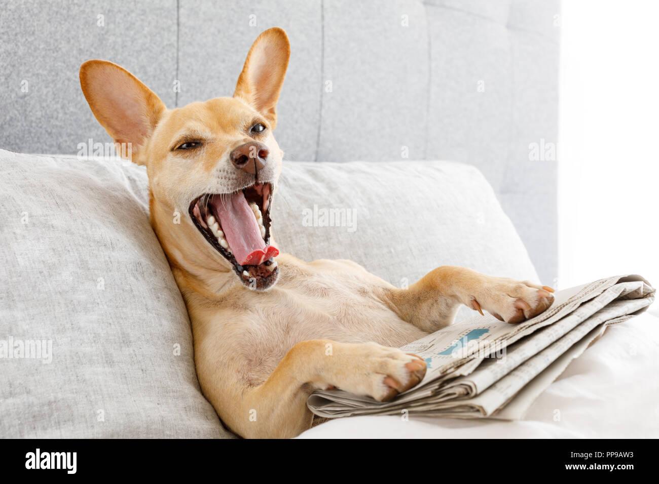 Cane in riposo a letto e sbadigliamento , con quotidiano , di ...