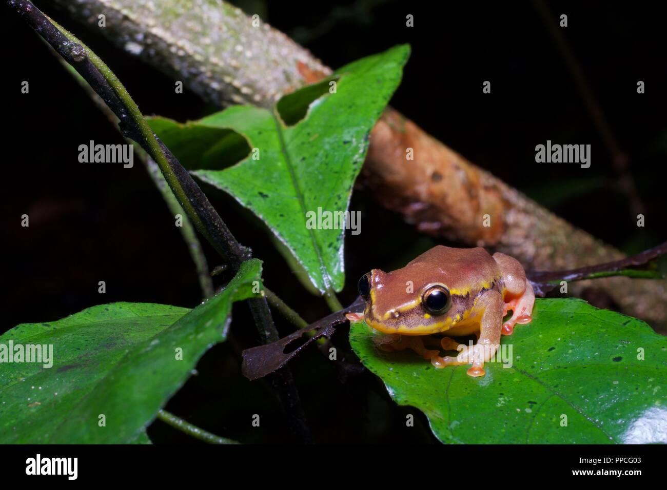 Una variabile Montane Rana Reed (Hyperolius picturatus) nella vegetazione di notte nella gamma Atewa riserva forestale, Ghana, Africa occidentale Immagini Stock