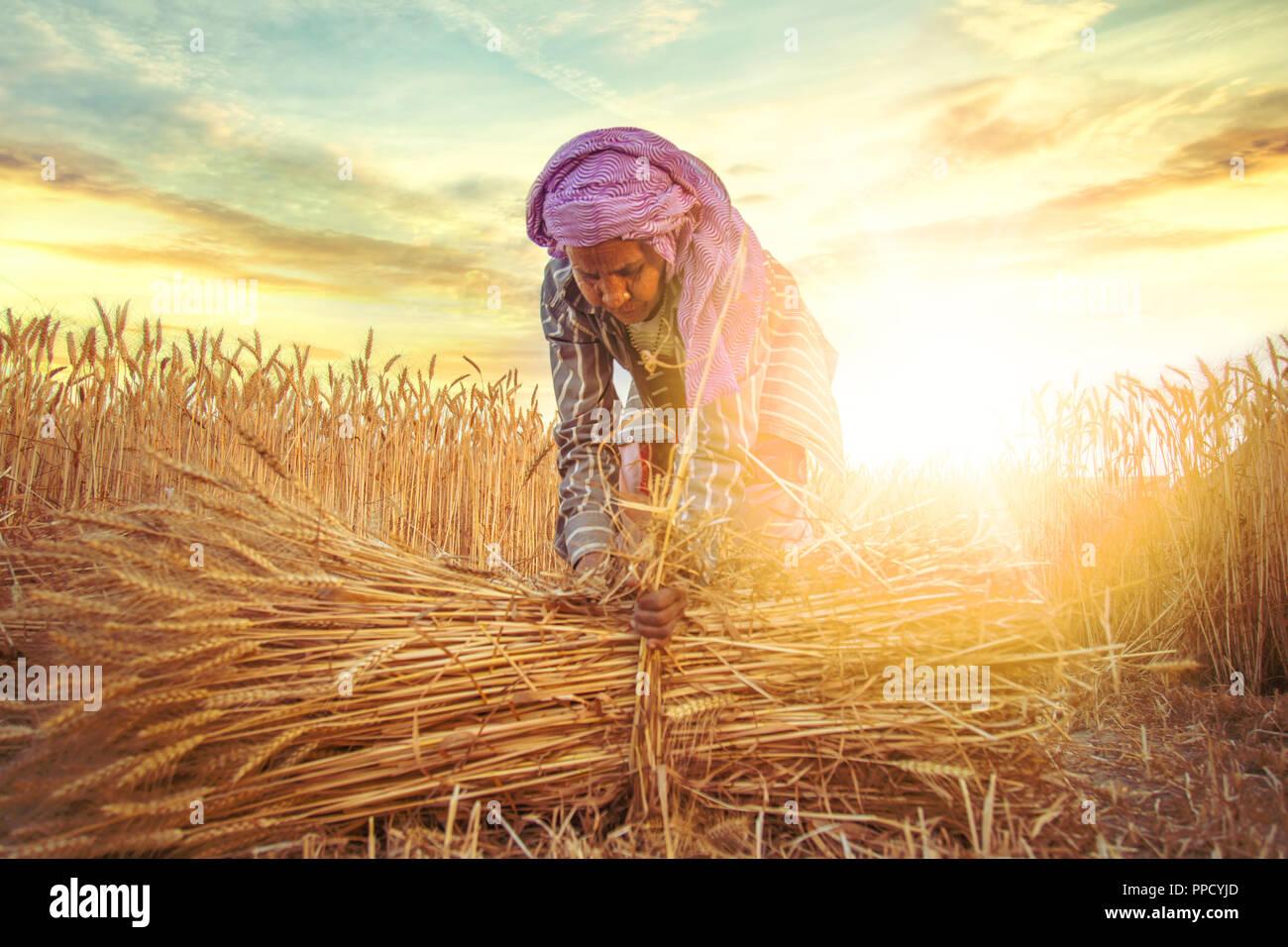 Una vecchia donna indiana agricoltore fasci di raccolta del frumento levetta ; Haryana ; India Immagini Stock