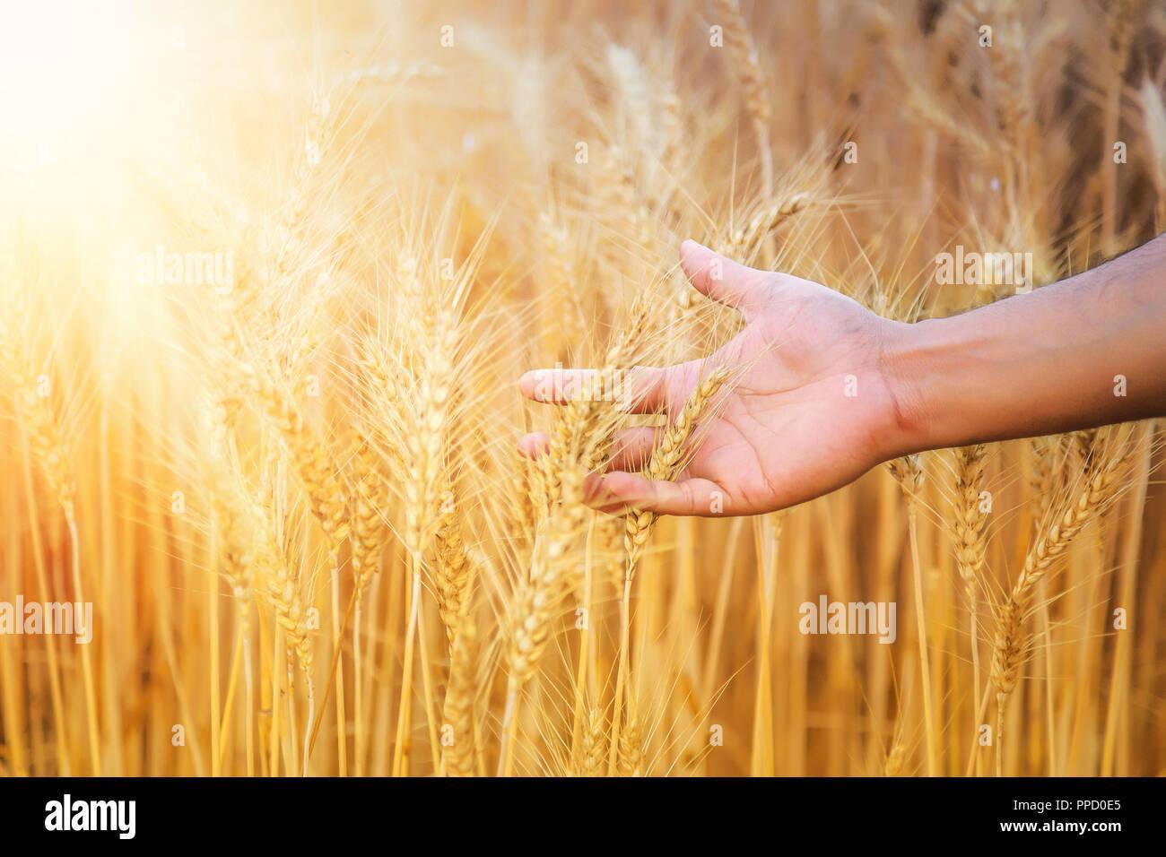 Mano di un agricoltore che accarezzano campo di grano in Haryana, India Immagini Stock