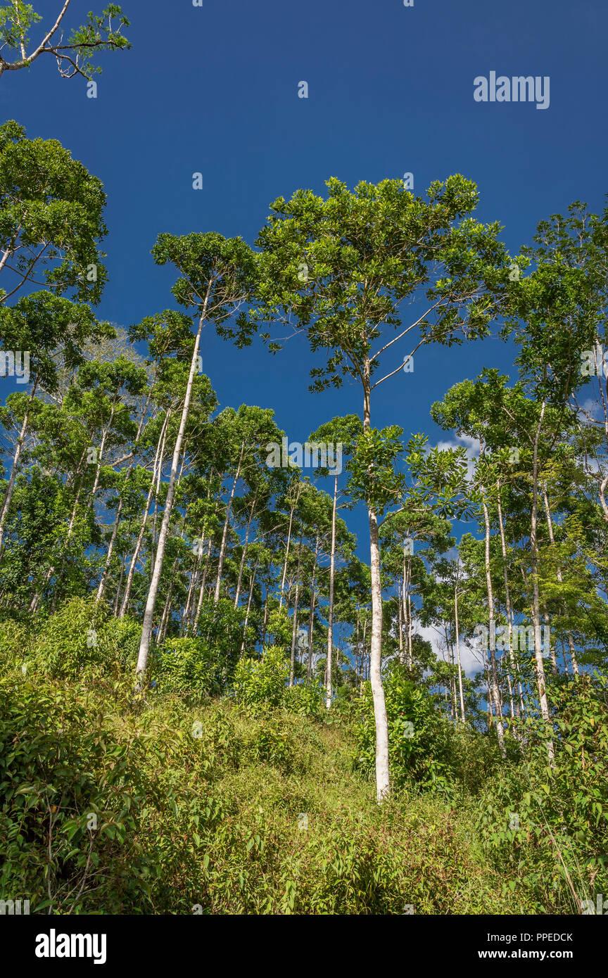 Alberi, Costa Rica Immagini Stock