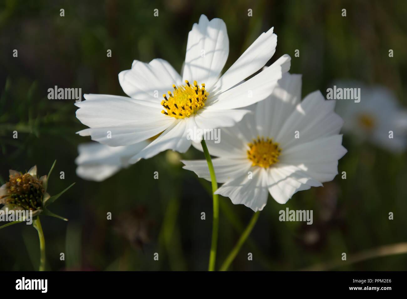 Blooming Cosmea Immagini Blooming Cosmea Fotos Stock Alamy