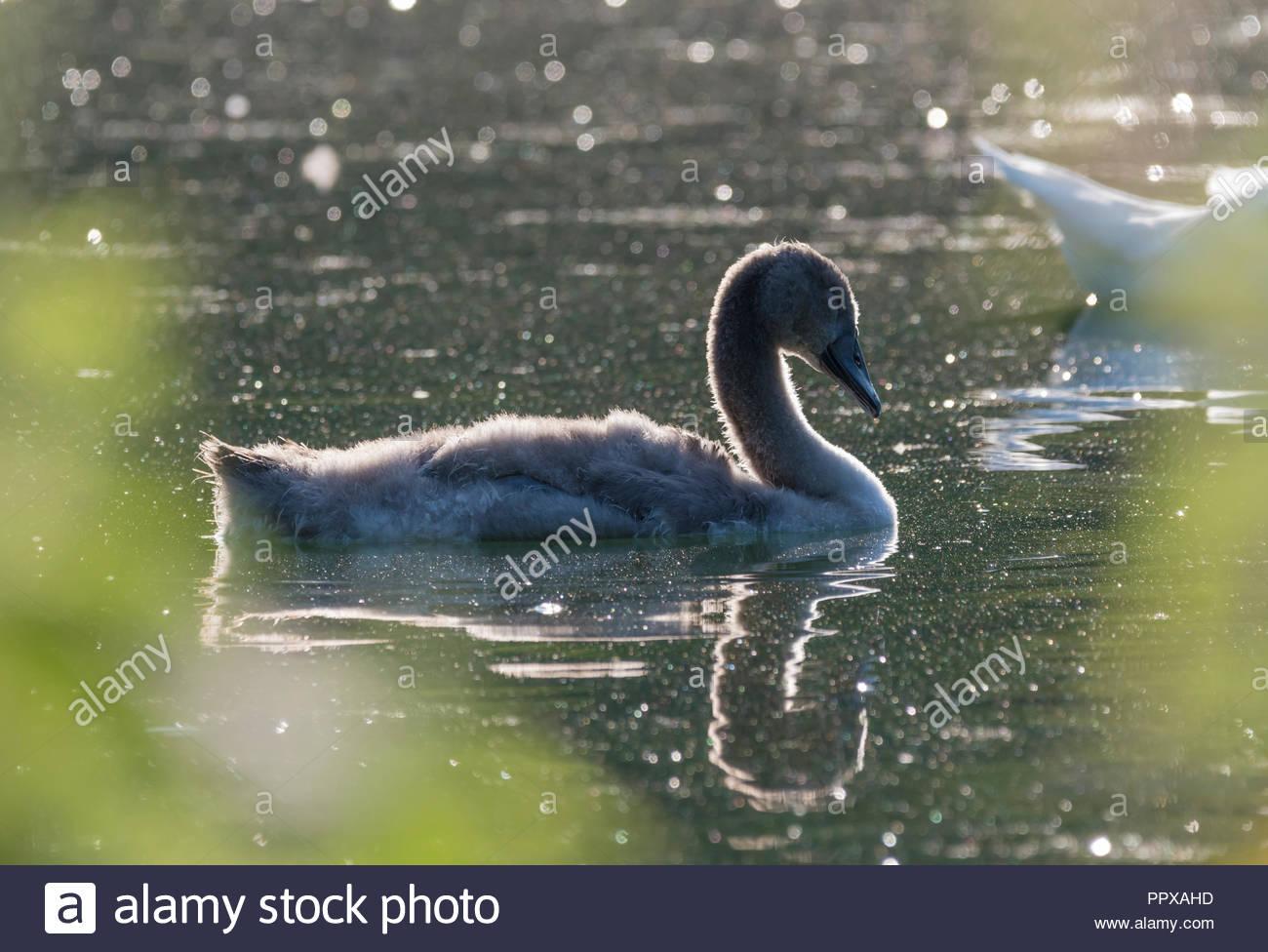 Bianco Cigno Cygnet (Cygnus olor) nuotare in un lago in inizio di mattina di sole luminoso nel West Sussex, in Inghilterra, Regno Unito. Immagini Stock