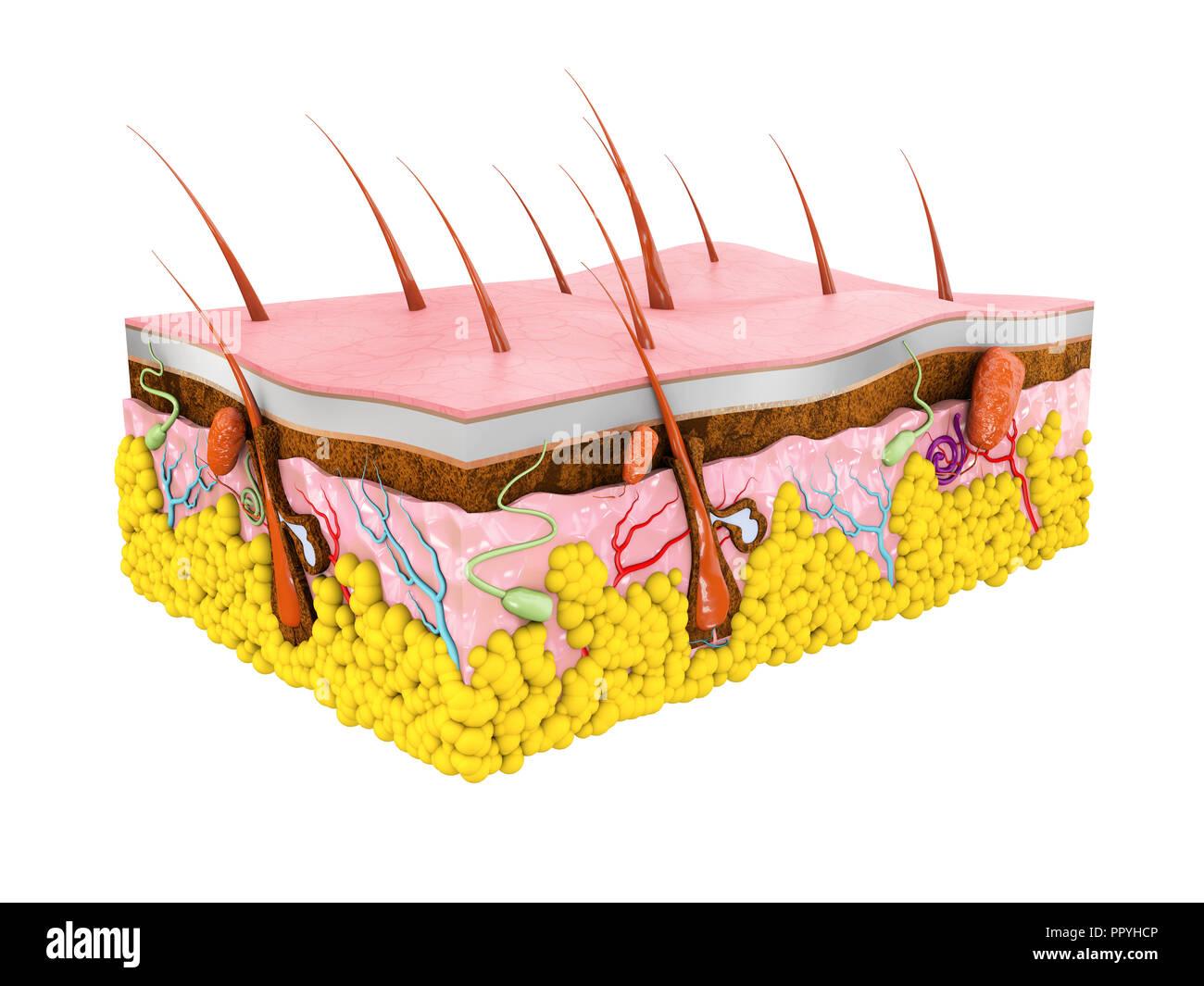 La pelle umana anatomia 3d illustrazione isolato sfondo bianco Immagini Stock