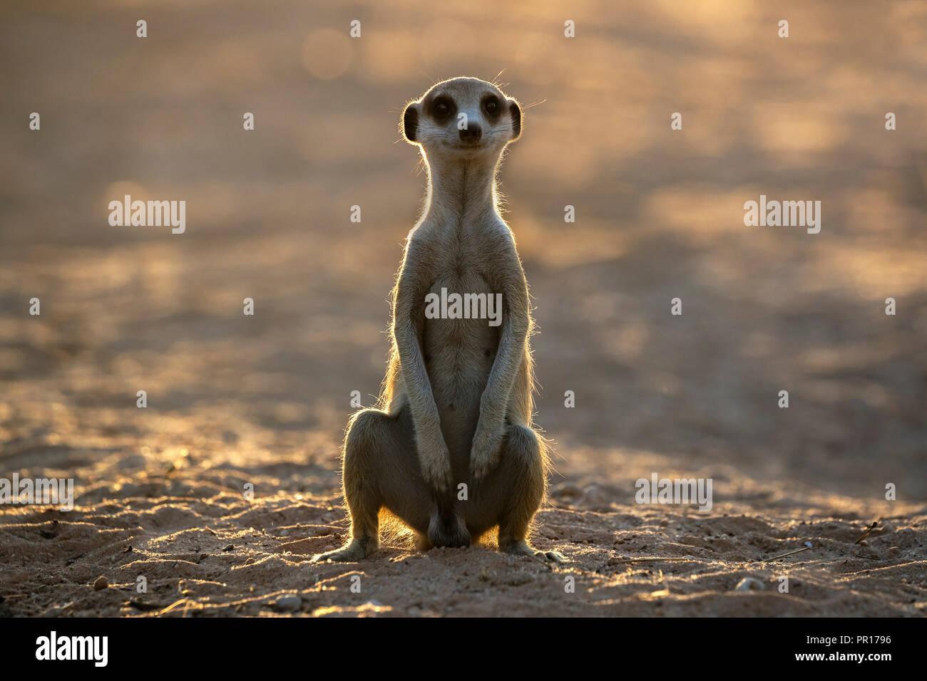 Meerkat (Suricata suricatta), Kgalagadi Parco transfrontaliero, Sud Africa e Africa Immagini Stock
