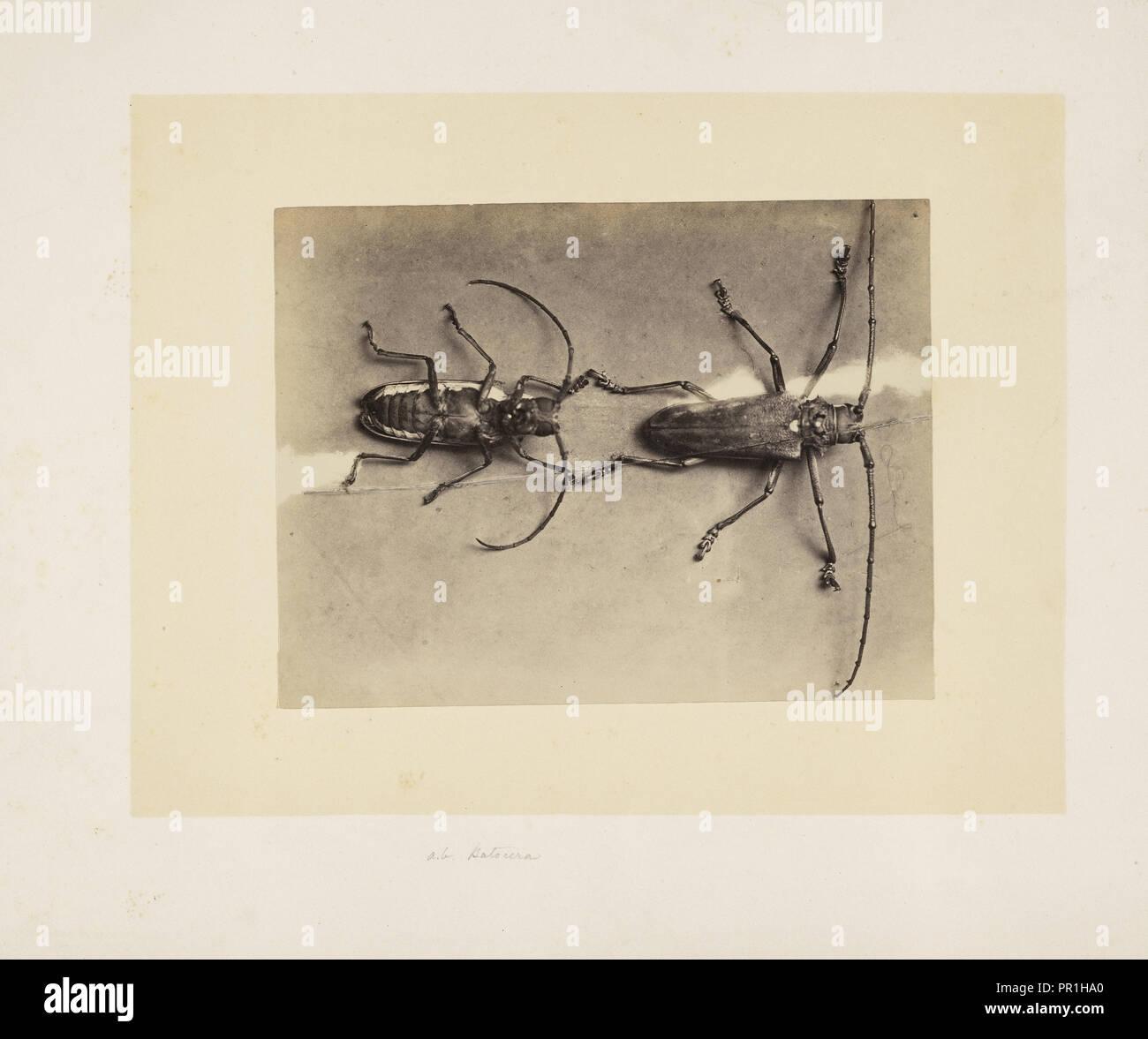 Due coleotteri, studi indiani di insetti, Saché, John Edward, albume d'uovo Foto Stock