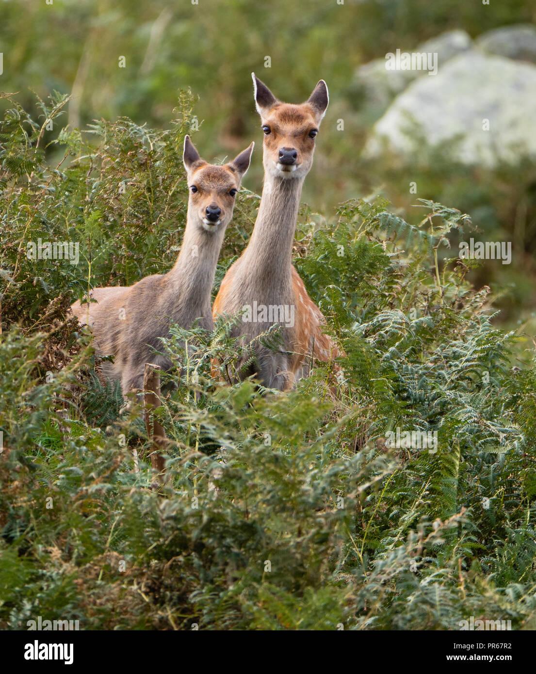 Sika deer Cervus nippon il peering fuori da bracken coperto scogliere sull isola di Lundy della costa nord del Devon Regno Unito Immagini Stock
