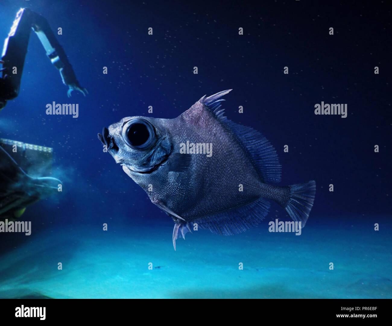 Neocyttus helgae, False boarfish, piscina vicino al veicolo sommergibile. Deep Sea Fish che vive tra 900 e 1800 m di profondità in prossimità di sottomarini. Foto Stock