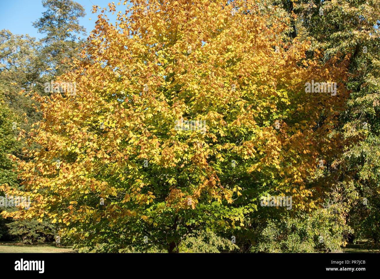 Kew, Richmond, GB. Giallo, arancio e scarlatto autunno foglie colorate del Black Maple su un ritardo e soleggiata settembre pomeriggio presso i Giardini di Kew. Foto Stock