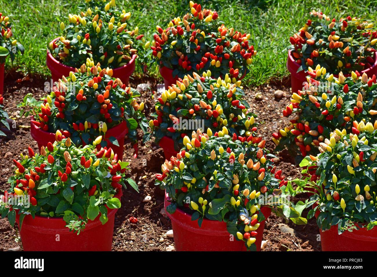 Spicy Red piante di pepe per la cucina Foto & Immagine Stock ...