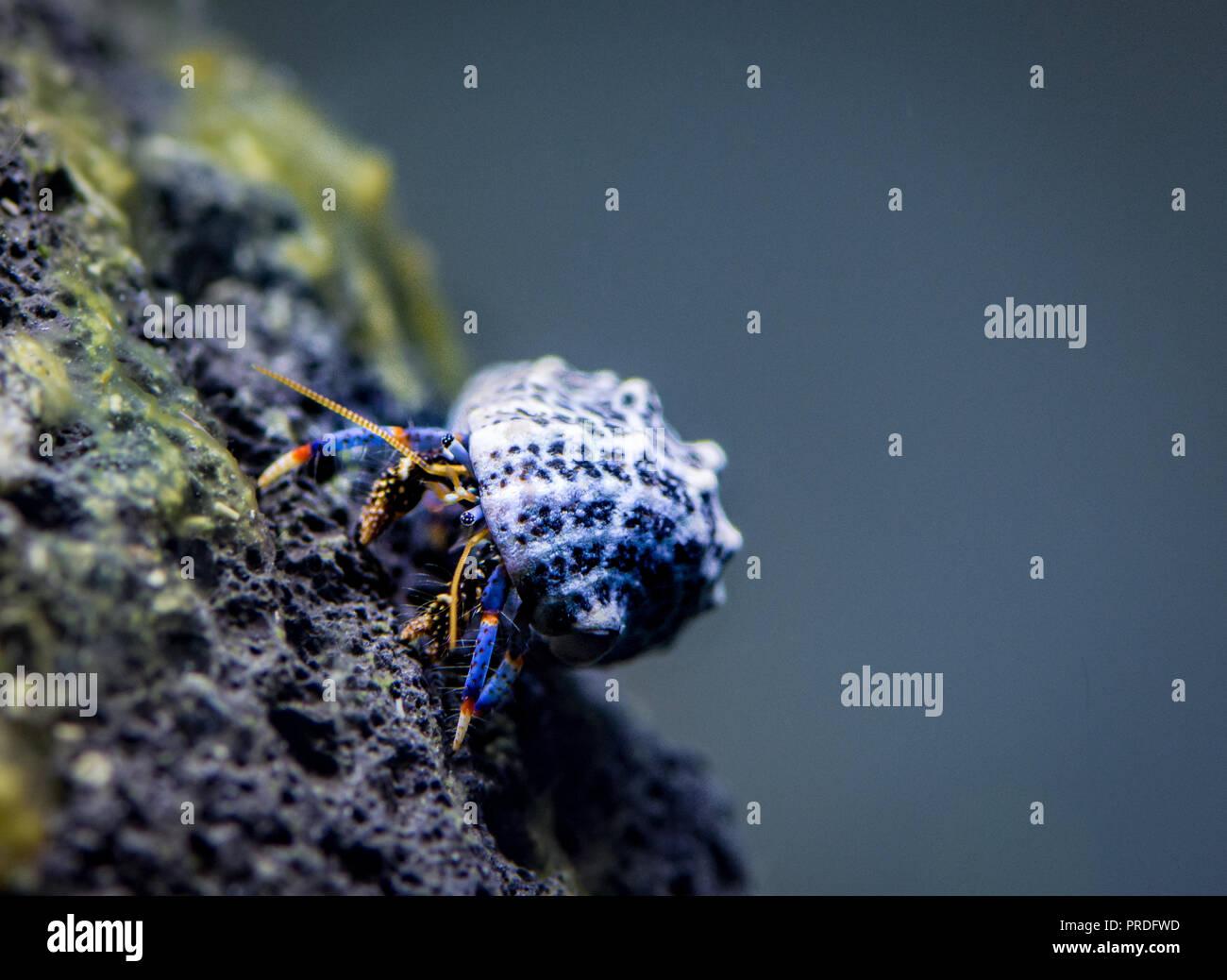 Il granchio eremita nel serbatoio d'acqua salmastra Immagini Stock