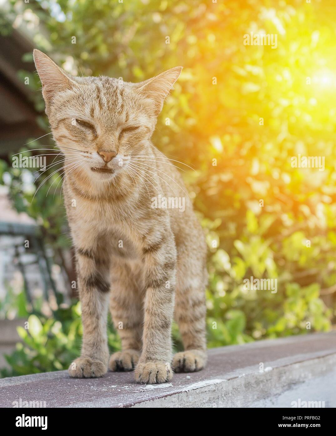 Gatto grigio con deprecabile occhi tristi. e colorato la sfocatura dello sfondo con la luce del tramonto di tono. Immagini Stock