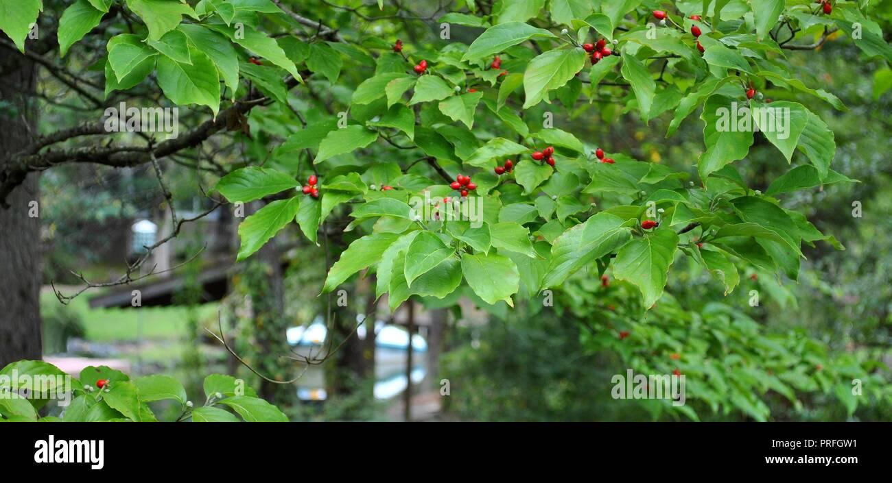 Albero Con Bacche Rosse sanguinello albero in autunno la stagione autunnale con