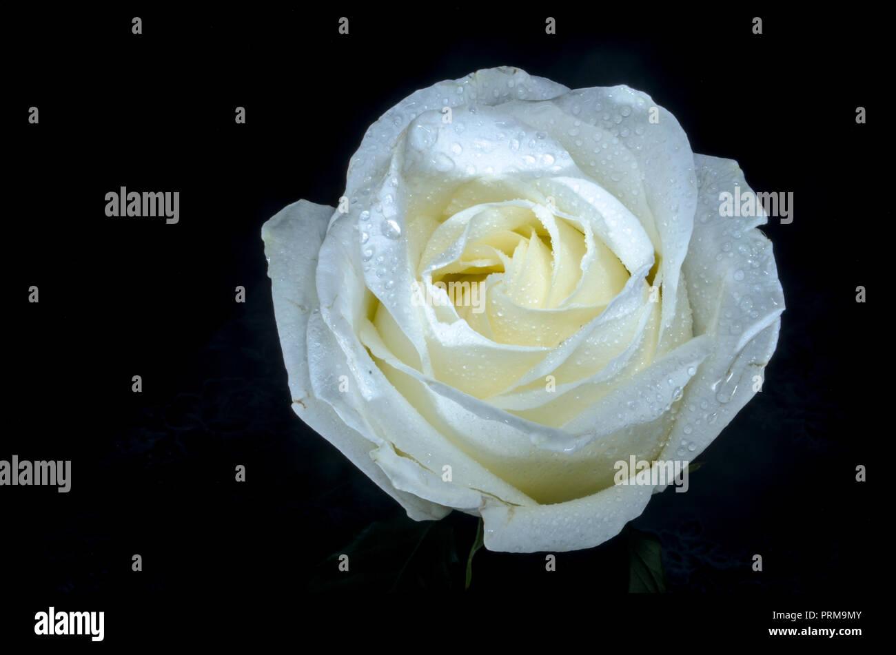 Bella Rosa Bianca Con Gocce Di Rugiada Su Sfondo Nero La Capacità