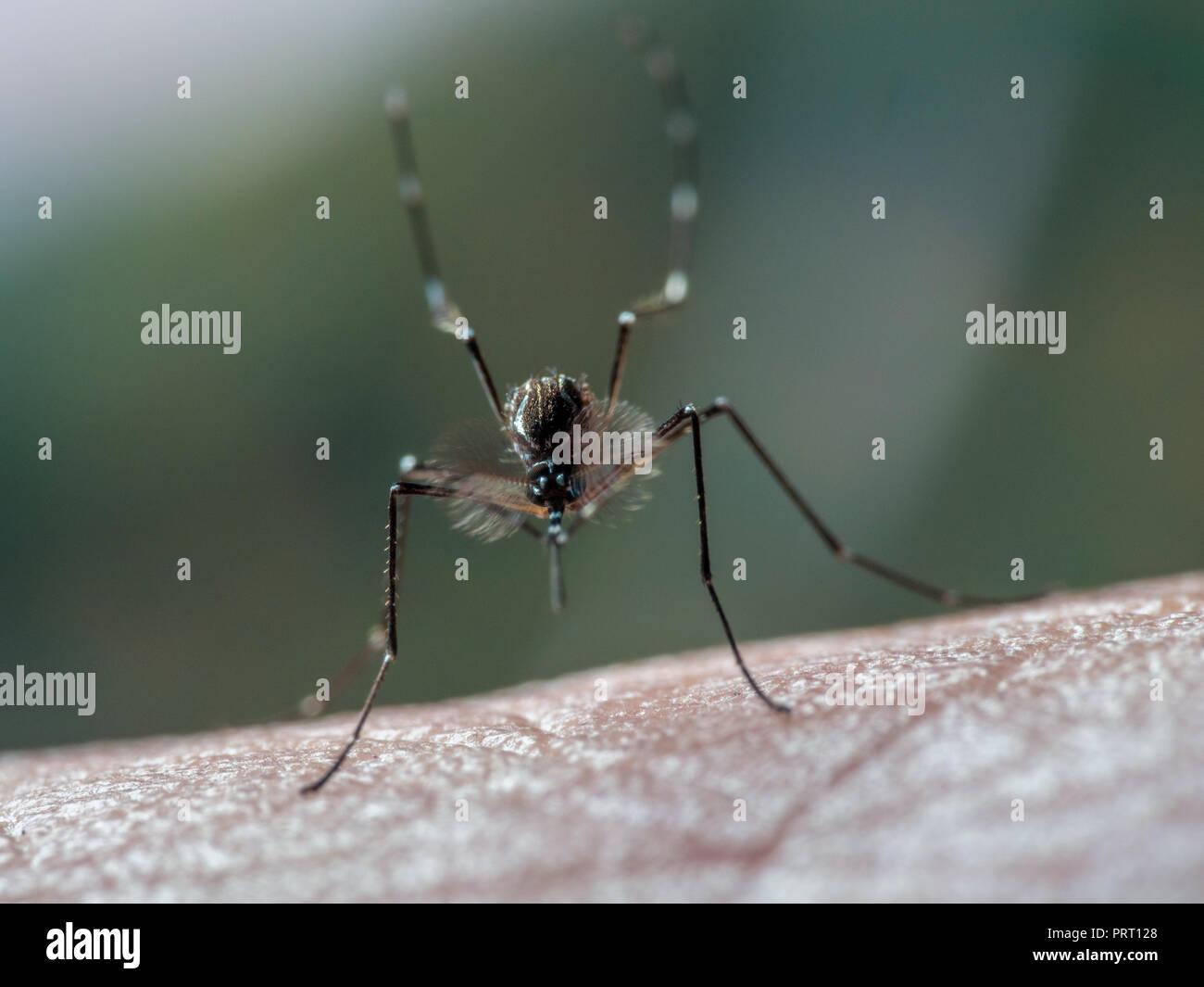 Maschio di febbre gialla (zanzara Aedes aegypti) seduto su