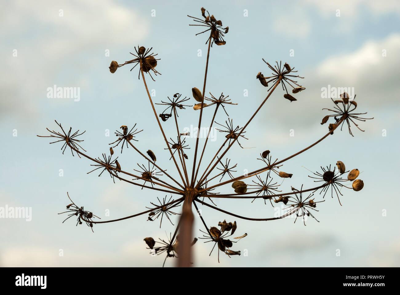 Pastinaca semi attaccato allo stelo di essiccato pastinaca fiori contro un pallido cielo blu. Immagini Stock