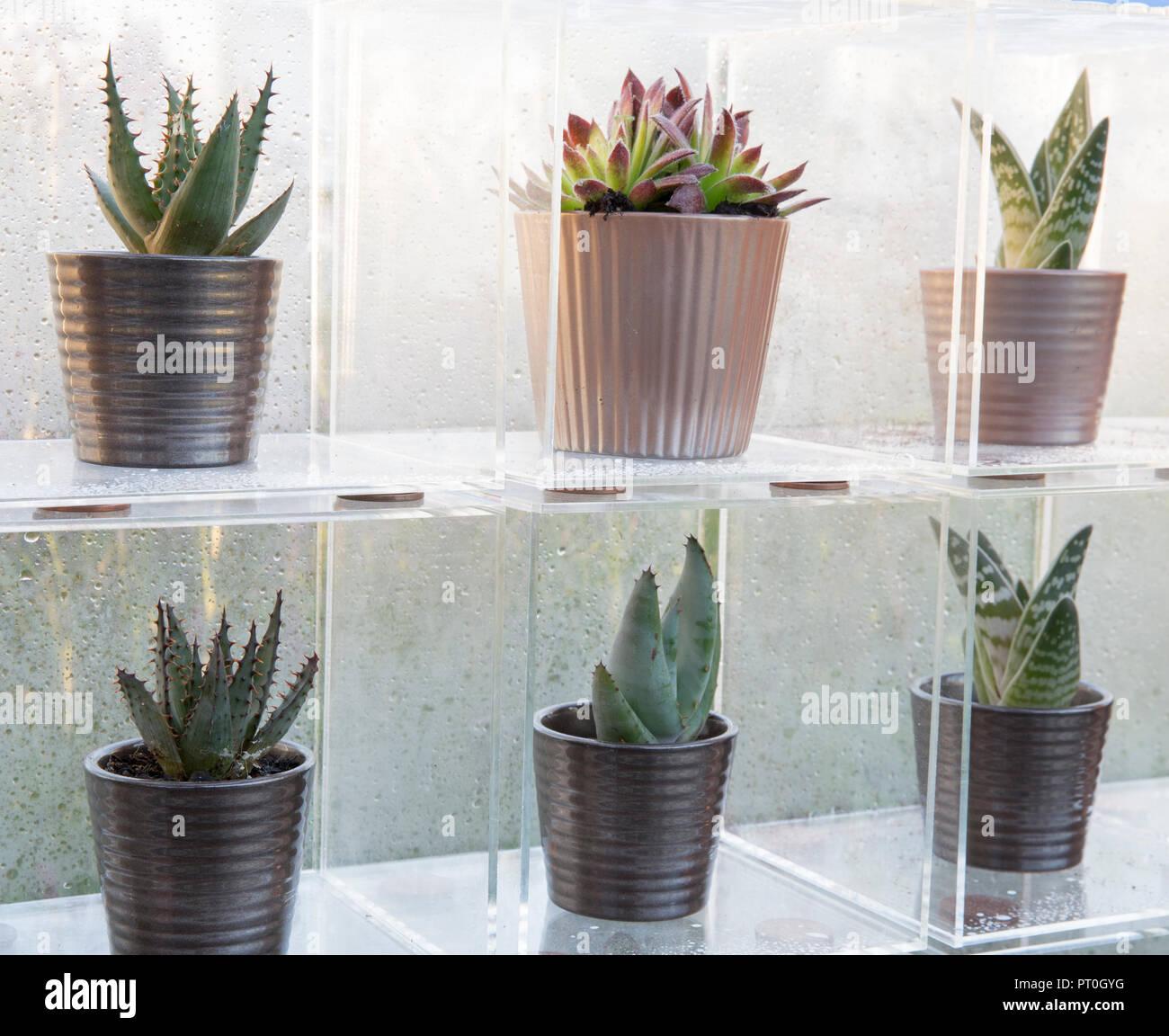Scatole di Perspex che espongono una collezione di piante succulente crescente in ceramica vasi per piante, Sempervivum, Aloe 'Paradisicum', a casa, crescere, mangiare e rilassarsi, RHS Ma Foto Stock