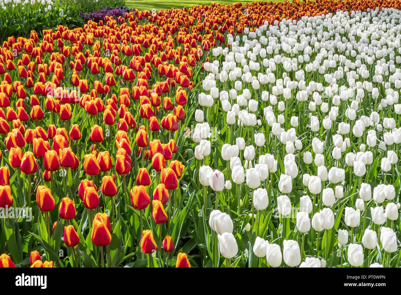 Due righe di fioritura tulipani nei Giardini Keukenhof Lisse, Paesi Bassi Foto Stock