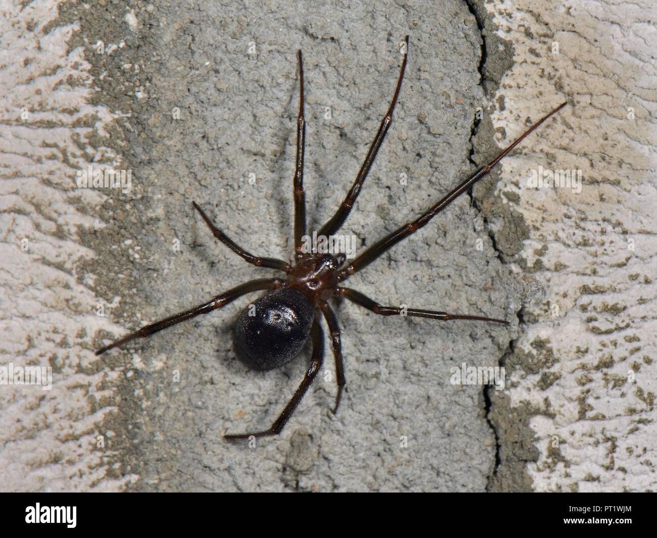La Falsa Credenza : Falso black widow o credenza spider steatoda grossa su una parete