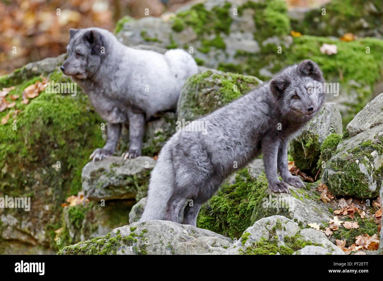 Volpe Artica, volpe polare, (Alopex lagopus) Immagini Stock