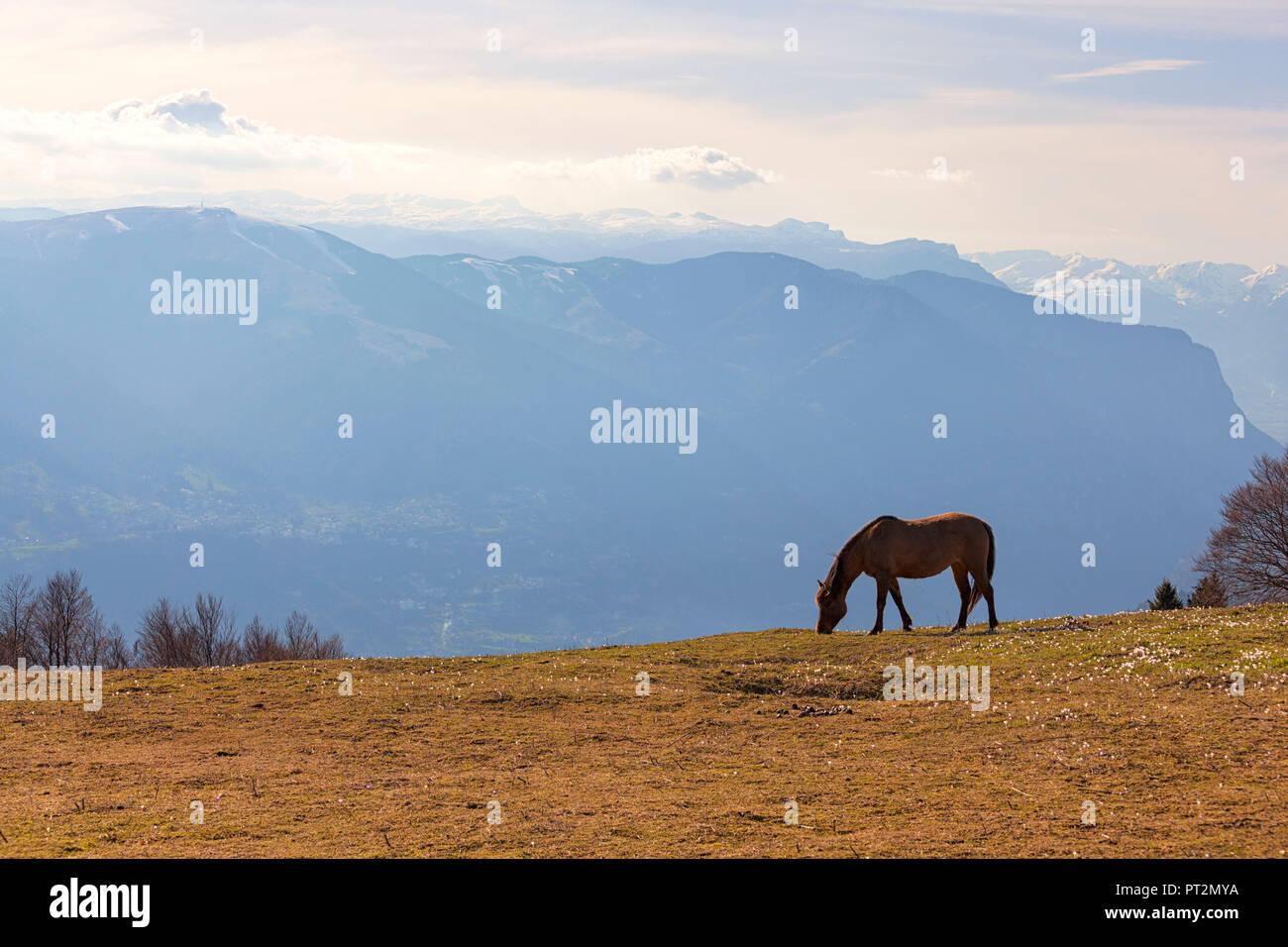 Cavallo giornate di pascolo su alpeggi della Val Tosella Alm con Altopiano dei Sette Comuni sullo sfondo il Monte Grappa, Prealpi Bellunesi, Seren del Grappa, provincia di Belluno, Veneto, Italia, Immagini Stock