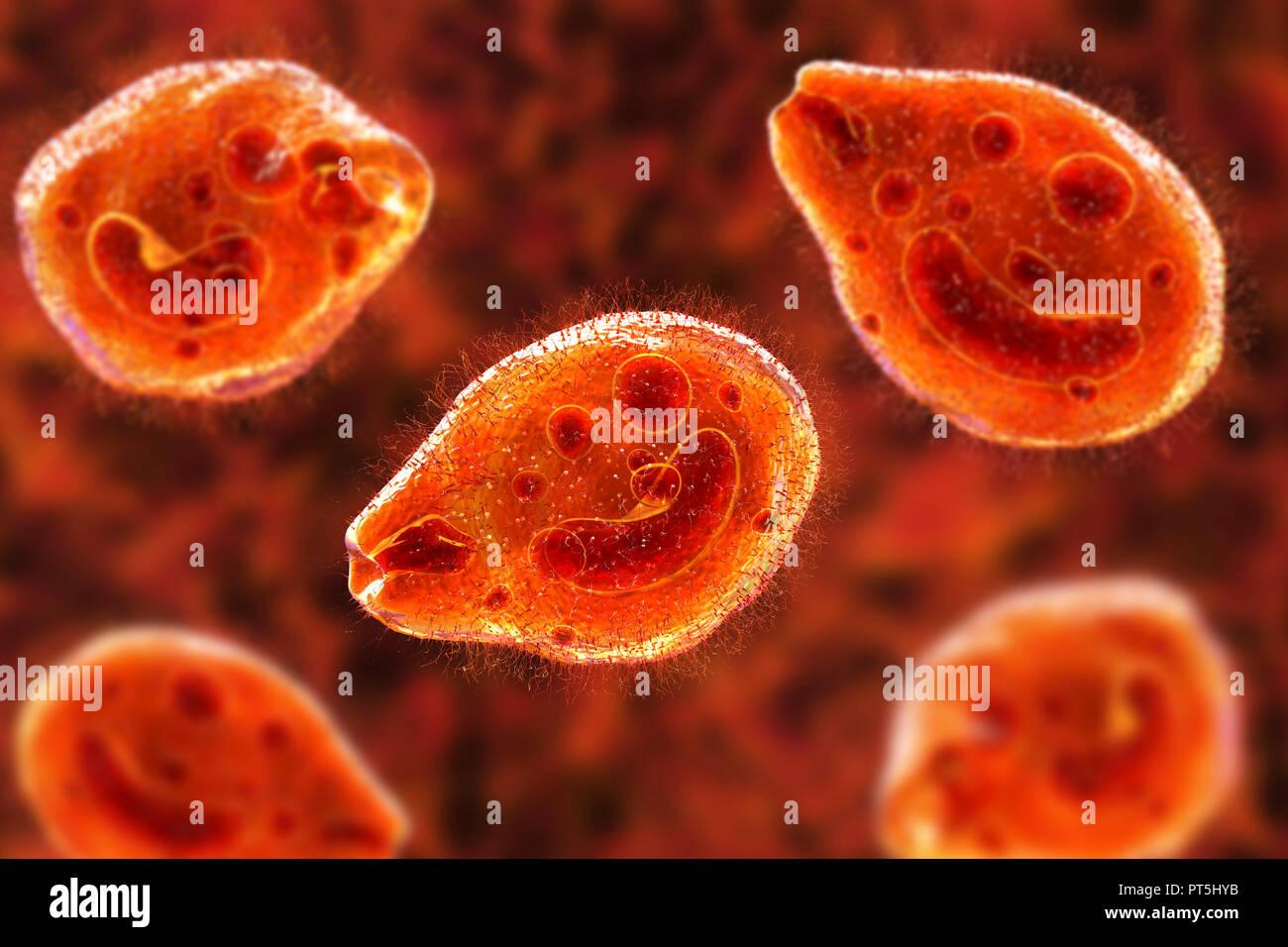 Computer illustrazione del protozoo ciliato Balantidium coli, un parassita intestinale che può causare la formazione di ulcere (balantidiasis) nel tratto intestinale degli esseri umani. Si tratta di una rara forma di dissenteria che è limitata essenzialmente per i lavoratori agricoli e quelli in stretta associazione con i suini. I parassiti sono comuni e innocuo tra i suini. Essi formano le cisti che passano al di fuori dei suini nelle loro feci. Gli esseri umani contraggono la malattia attraverso gli alimenti o bevande contaminati da tali cisti. Immagini Stock