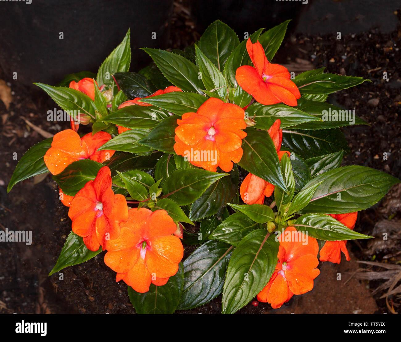 Incredibile Vividi Fiori Arancione Tra Verde Scuro Lucide Foglie Di Impatiens Hawkerii Nuova Guinea Hybrid Foto Stock Alamy