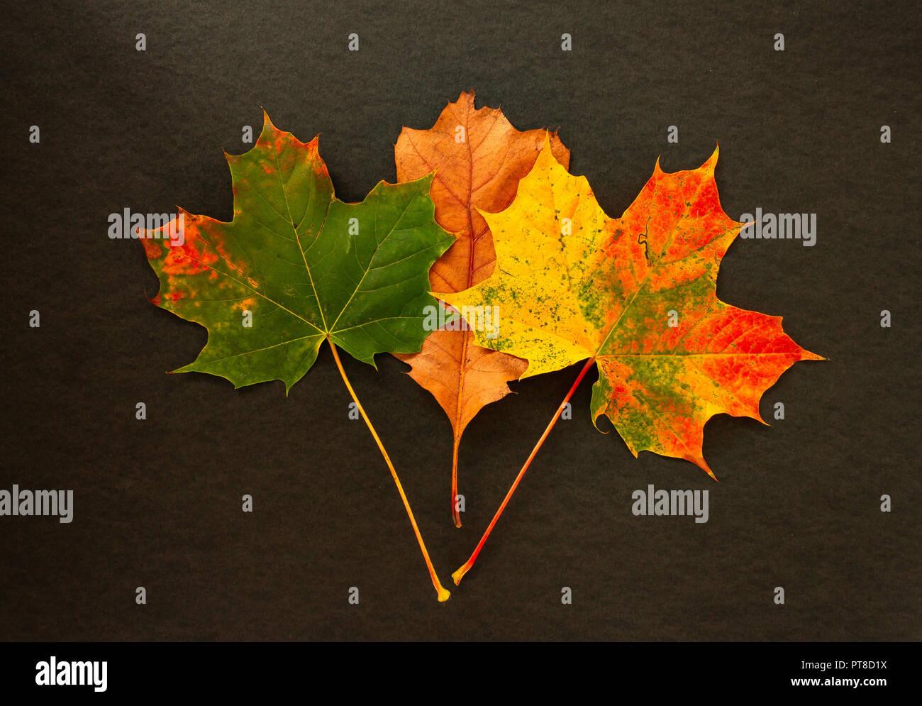 Colori d'autunno lascia su di uno sfondo nero Foto Stock