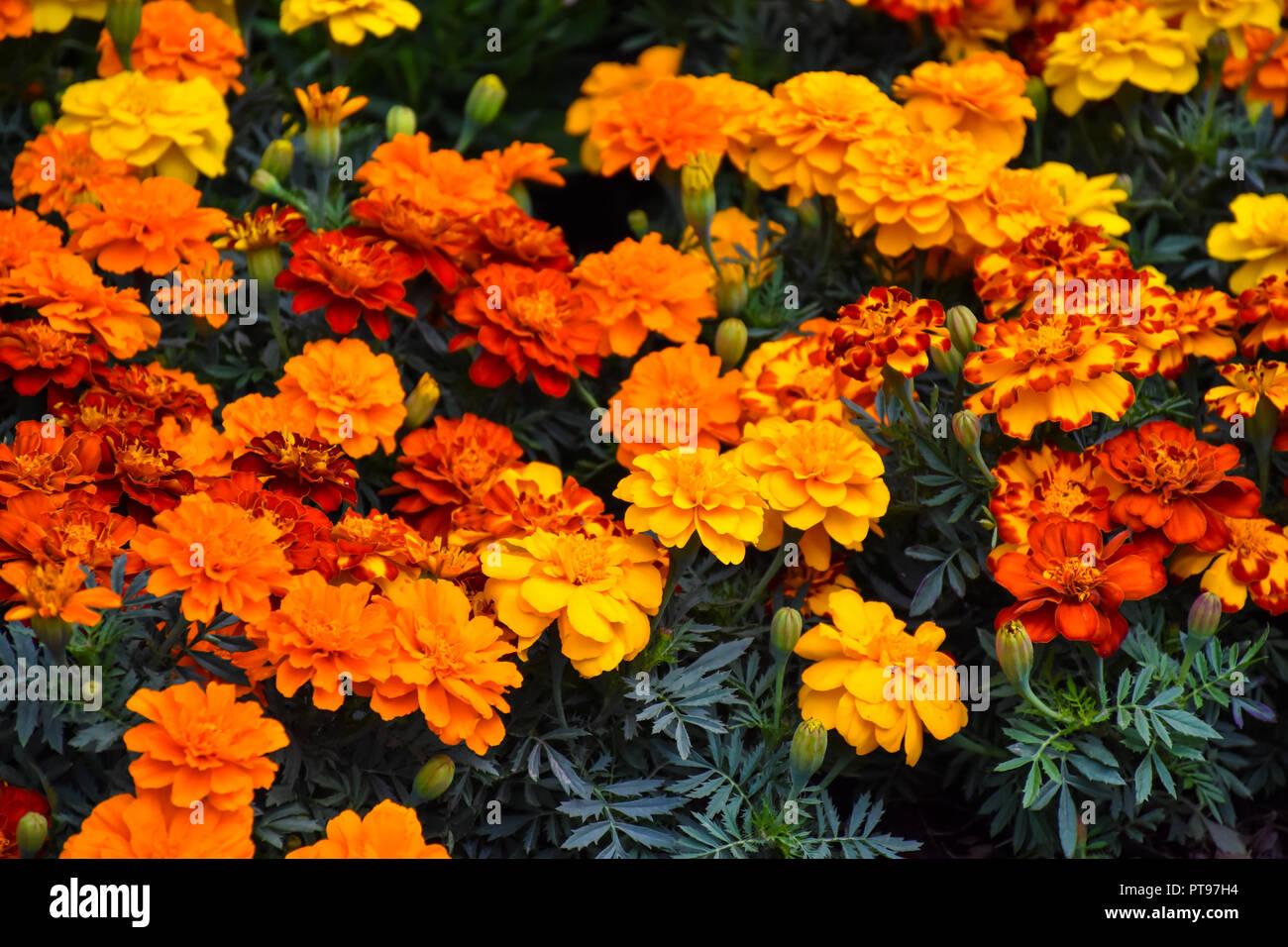 Fiori Arancioni E Gialli.Arancione E Giallo Sfondo Fiori Foto Immagine Stock 221479696