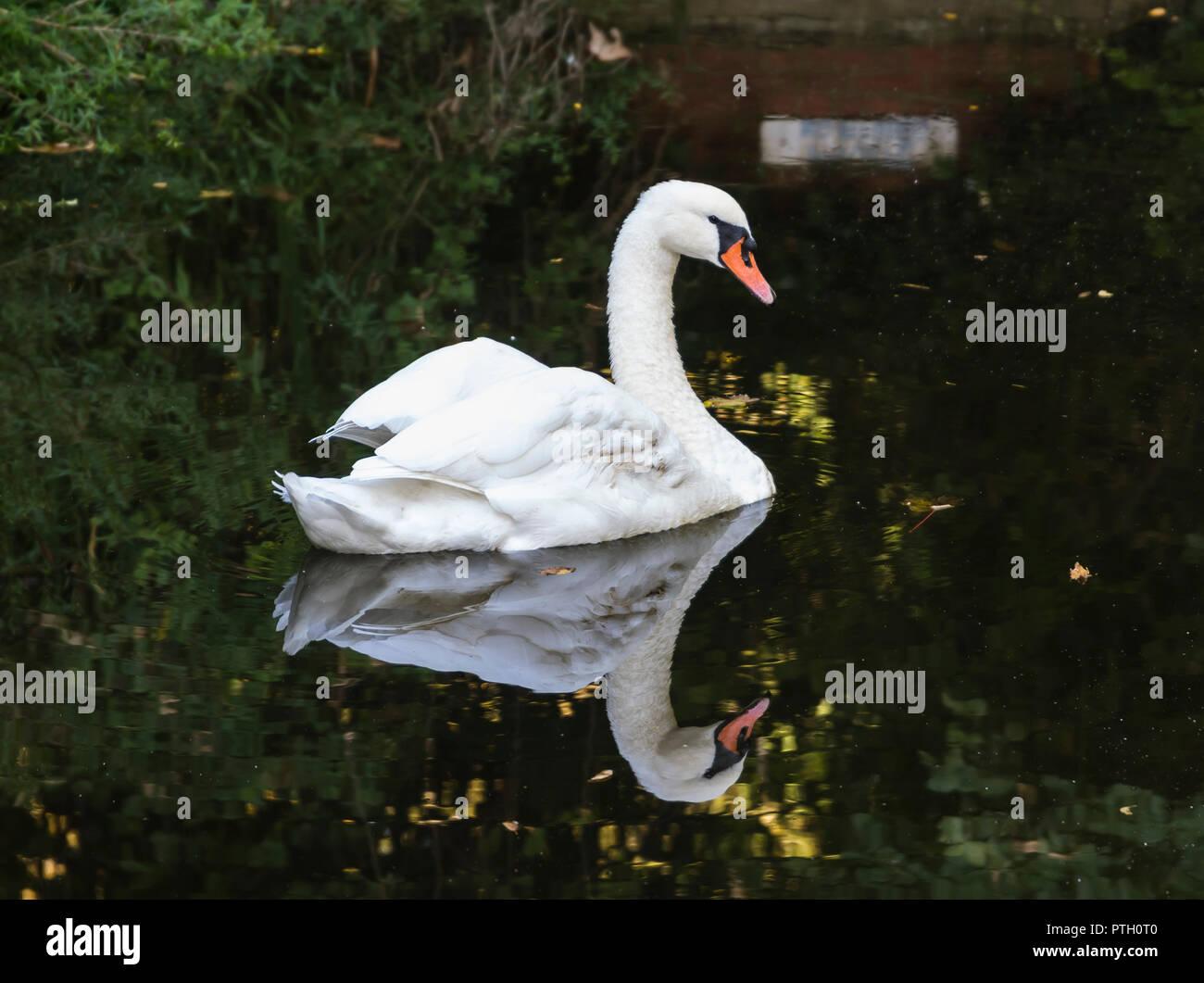 Adulto bianco Cigno (Cygnus olor), vista laterale, nuoto in acqua con riflesso perfetto in autunno nel West Sussex, in Inghilterra, Regno Unito. Immagini Stock