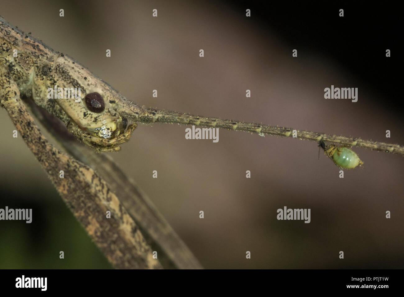 Mordere moscerini (Forcipomyia sp.) noto anche come mosche tick aspirare emolinfa dalle antenne di un molto più grande di bastone da passeggio in Perù. Immagini Stock