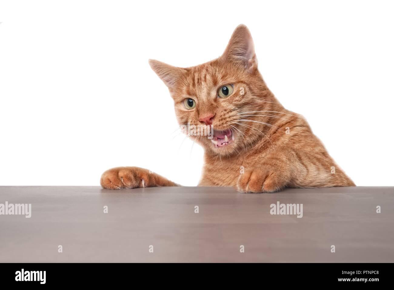 Lo zenzero divertente gatto cercando sorpreso al tavolo. Immagini Stock